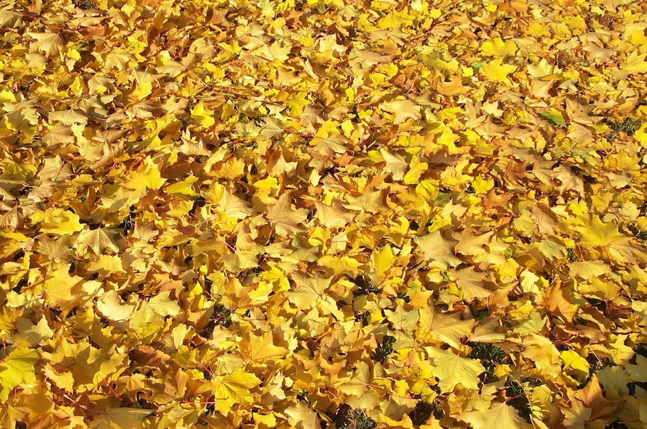 Yellow autumn leaves on the ground, shined on brightly by the Sun