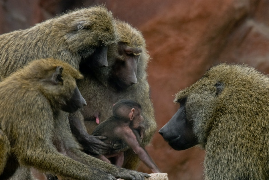 Baboons in the Savanna section