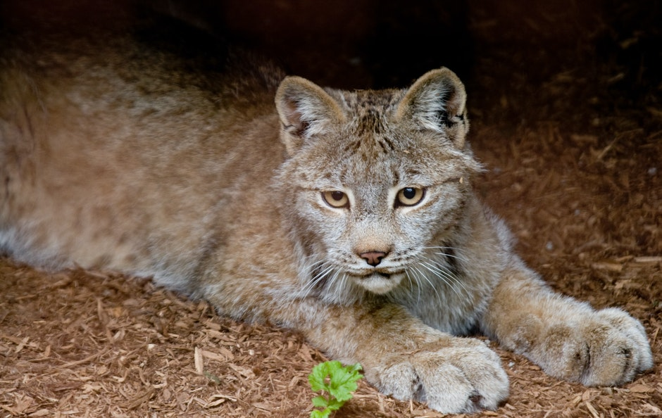 Canadian lynx in the Canadian section