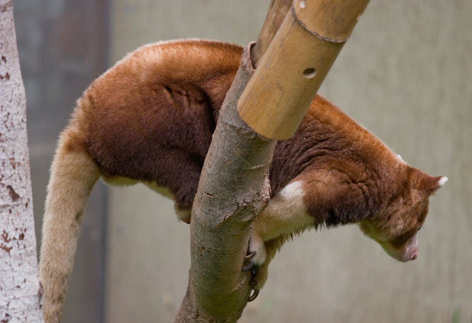 Tree Kangaroo in the Australasia section